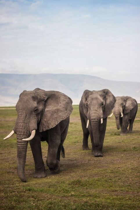 Three male elephants walking on green grass